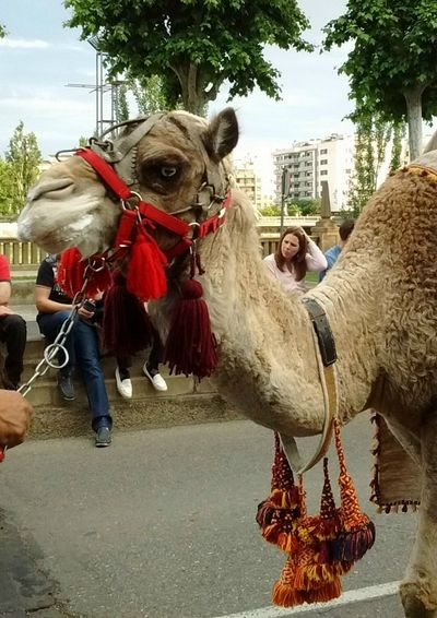 Camello. Animal Themes Animal Mammal Domestic Animals Pets Domestic Livestock Camel Celebration One Animal Plant Animal Wildlife Nature Red Tree Vertebrate Decoration Working Animal Animal Body Part Outdoors Camello Camellos