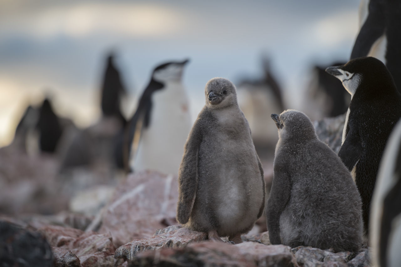 animal themes, animal, animal wildlife, group of animals, vertebrate, bird, penguin, animals in the wild, focus on foreground, no people, nature, day, outdoors, close-up, rock, large group of animals, selective focus, solid, young animal, animal family, marine