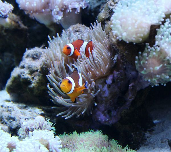 Clown Anemonefish Clownfish Clown Fish Fishtank Saltwaterfish Tropical Fish ForTheLoveOfPhotography Color Photography