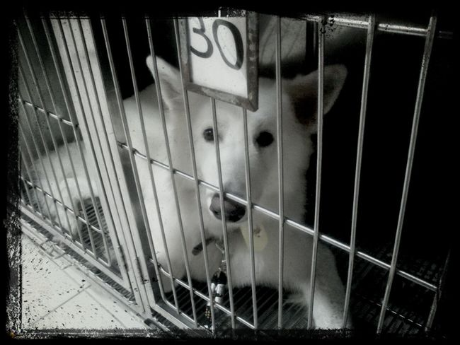 my adorable thor!!! waiting for me in the petshop, after a great bath. White Shepard Dog Thor  Berger Blanc Suisse