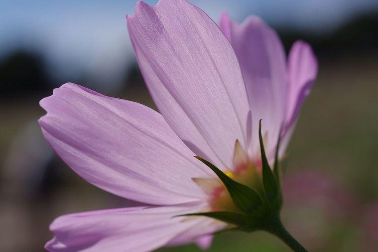 Flower Close-up 秋桜 Cosmos Flower 国営昭和記念公園 Pentax K-3