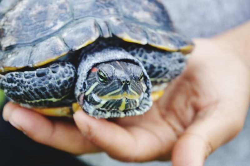Meet the turtle. Tortoise Shell Human Hand Tortoise Reptile Pets Turtle Close-up Animal Shell Slow Exotic Pets
