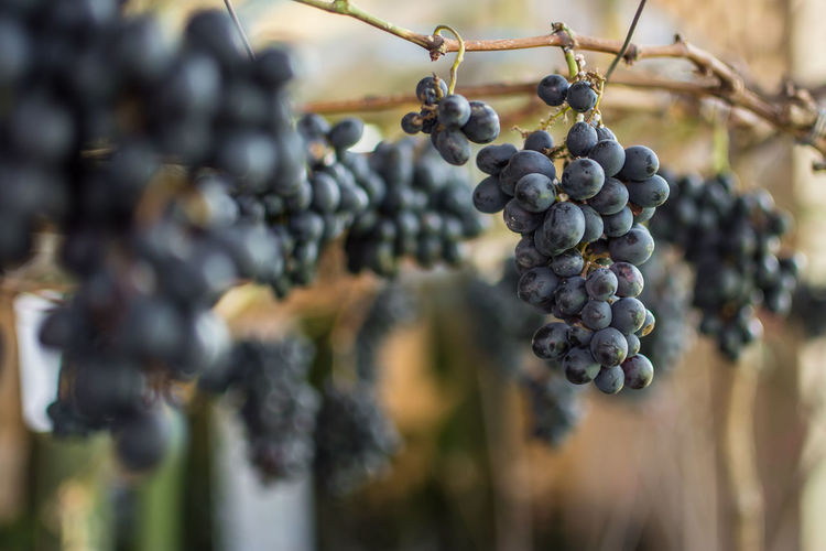 Bunch Of Grapes Abundance Agriculture Berry Fruit Bunch Close-up Day Food Food And Drink Freshness Fruit Grape Grapes Growth Hanging Healthy Eating Nature No People Outdoors Plant Plantation Ripe Selective Focus Vineyard Wellbeing Winemaking