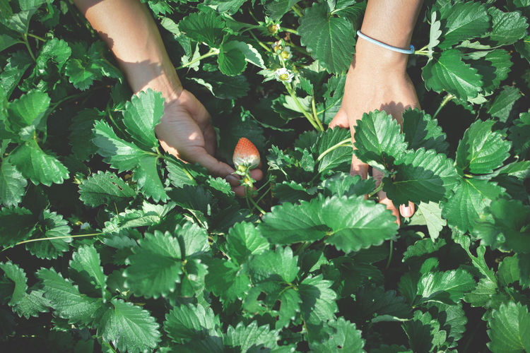 Cropped hands holding strawberry growing on plant
