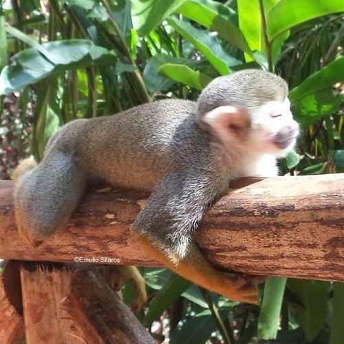 Oooh look at this little cutie!!! Monkeyjungle Monkeybusinemon Sunbathing Monkey Monkies Cuteness Sunlife TheLife Aww