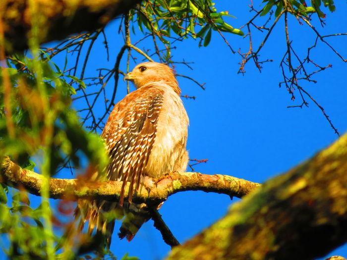 Wild Hawk (May 11, 2019) Hawk Hawk - Bird Hawks Hawks Of Eyeem Florida Bird Tree Perching Bird Of Prey Branch Sky