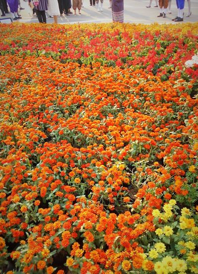 Flowering Plant Flower Plant Freshness Vulnerability  Orange Color High Angle View Multi Colored Incidental People Outdoors Flowerbed Field Flower Head Abundance