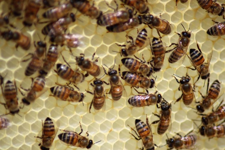 Animal Animal Themes Animal Wildlife Animals In The Wild APIculture Beauty In Nature Bee Beehive Close-up Colony Full Frame Group Of Animals Honey Bee Honeycomb Insect Invertebrate Large Group Of Animals Nature No People Zoology