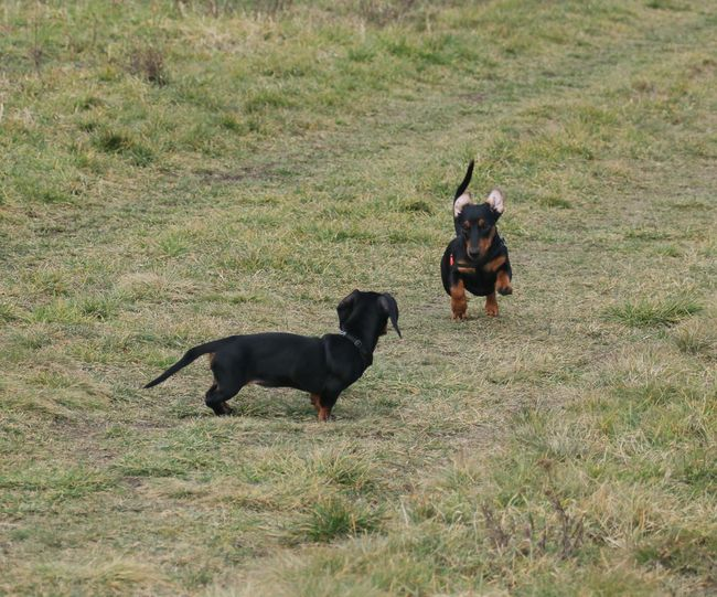 Dachshunds Dachshund Dachshunds Run Happiness Dogs Outdoor Pets Mammal Two Animals Pets Field No People Nature Day Outdoors Dog Togetherness