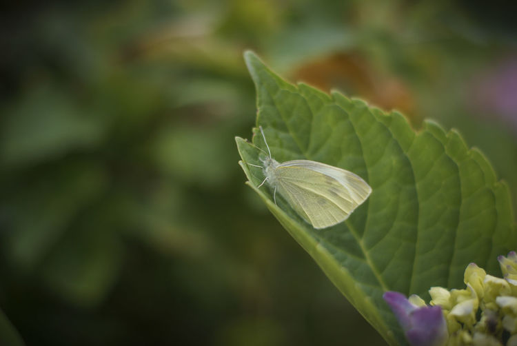 Beauty In Nature Butterfly CABBAGE WHITE Close-up Day Focus On Foreground Fragility Freshness Green Green Color Growing Growth Leaf Nature Plant