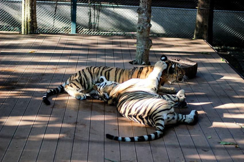 Tiger Tiger. Animal Animal Themes Animal Wildlife Animals In Captivity Big Cat Cat Day Feline Lying Down Mammal No People One Animal Outdoors Relaxation Resting Sleeping Sunlight Tiger Vertebrate White Tiger Zoo