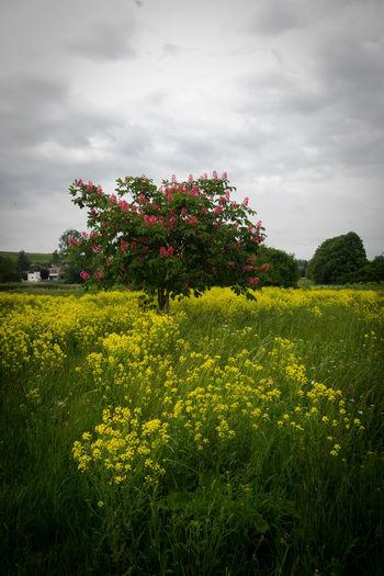 Chestnut Kastanie Kastanienblüte Rapsblüte Rapsfeld Rheinland-Pfalz  Baum Beauty In Nature Canola Cloud - Sky Field Flower Flowerbed Flowering Plant Freshness Landscape No People Plant Yellow