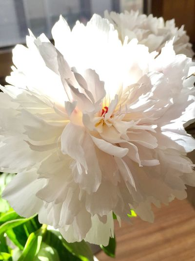 Flower Petal Flower Head Fragility Beauty In Nature White Color Nature Pollen Freshness Close-up Stamen Growth No People Day Blooming Outdoors Peony  White White Flower Pfingstrosen пион Weiss белый Weiße Blüten White Blossoms