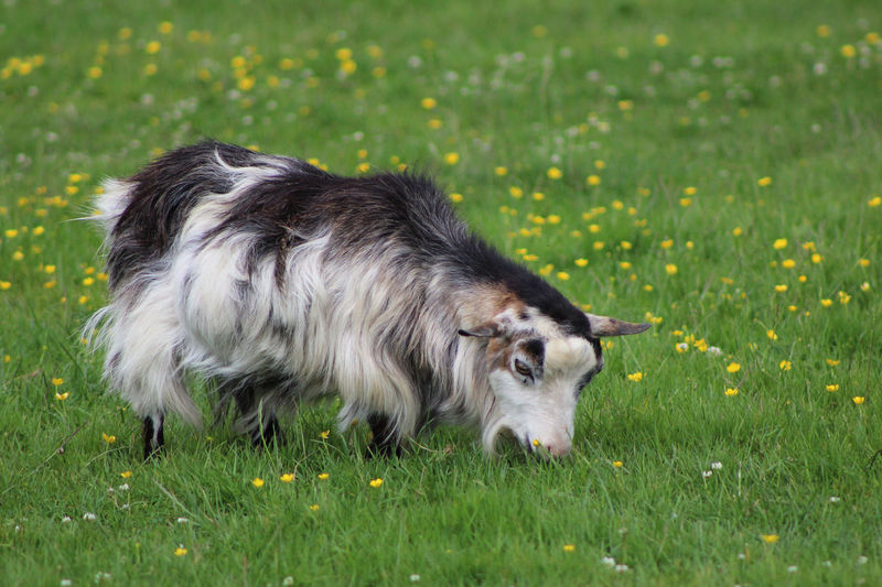 Animal Animal Hair Animal Themes Day Dog Domestic Animals Field Focus On Foreground Goat Grass Grassland Grassy Green Green Color Growth Hairy Goat Loyalty Mammal Nature No People One Animal Pets Small Goat Tranquility Zoology