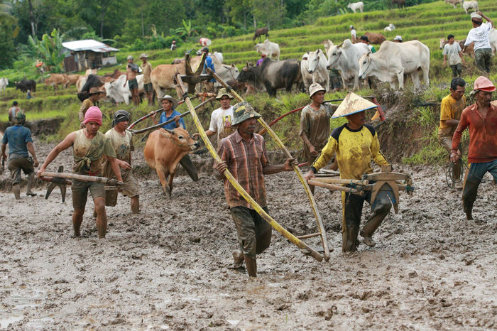 Local Gather Cow Race Pacu Jawi' in West Sumatra - Photo Story Casual Clothing Day Field Landscape Large Group Of People Leisure Activity Lifestyles Livestock Mammal Mixed Age Range Nature Outdoors Pacu Jawi The Photojournalist - 2016 EyeEm Awards Tourism Vacations