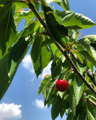 Close-up of strawberry growing on tree against sky