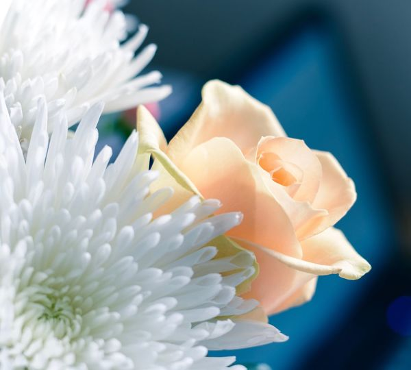 Flower Focus On Foreground Focused Roses Bokeh Nature Indoors  White