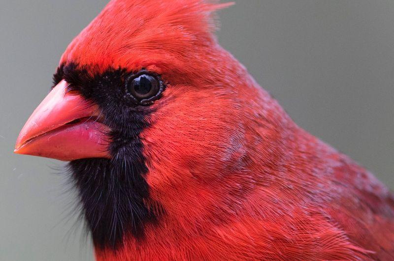 Cardinal Bird Red One Animal Close-up Beak Animal Themes Animal Head  No People Domestic Animals Day Outdoors Portrait Nature Songbird