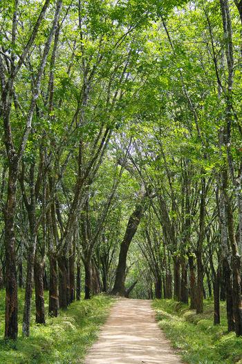 Kautschukbäume bilden eine Allee Beauty In Nature Day Footpath Green Color Growth Kautschukplantage Landscape Lush - Description Nature No People Outdoors Scenics Sri Lanka The Way Forward Tranquility Tree