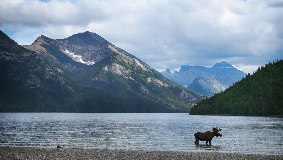 Moose standing at riverbank against mountain