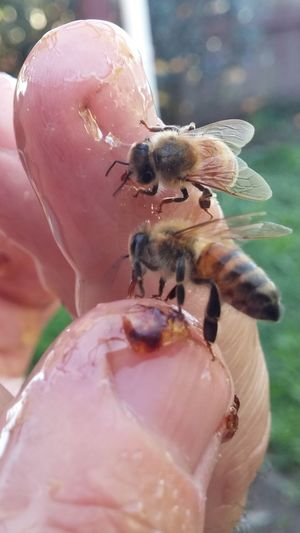 On fingers 3 Insect Close-up Day Nature Bee OutdoorsNature Summer NZ Style I See You Women Who Inspire You Hanging Hallo Yves Bees🐝 Perching Food Feeding  Insect Theme
