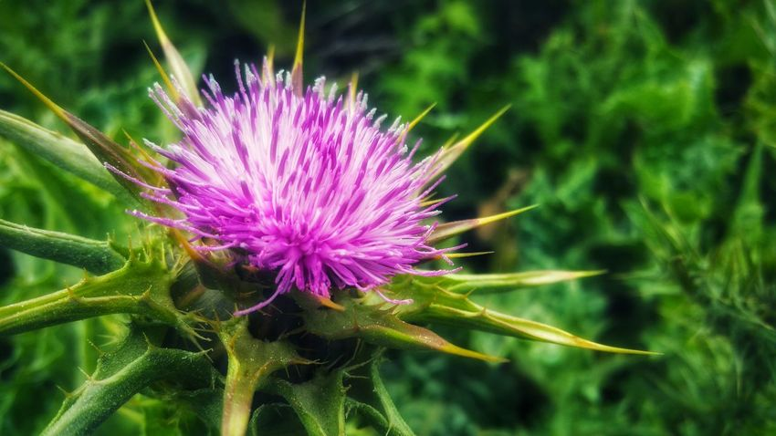 Pink Burst of beauty - Wild Thistle New Growth Background Zen Meditation Shimmering Timeless Moment Copy Space Pattern Foreground Focus Dreams Pink Burst Flower Head Thistle Flower Multi Colored Pink Color Purple Close-up Plant Flowering Plant Wildflower Botany In Bloom Uncultivated Magenta Plant Life Blossom Blooming