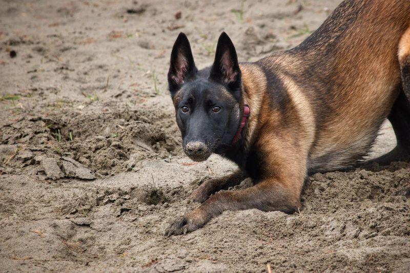 Close-up portrait of a dog on sand