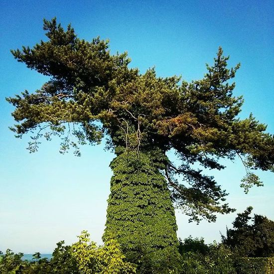 Interessanter Baum ;-) Usedom Bansin