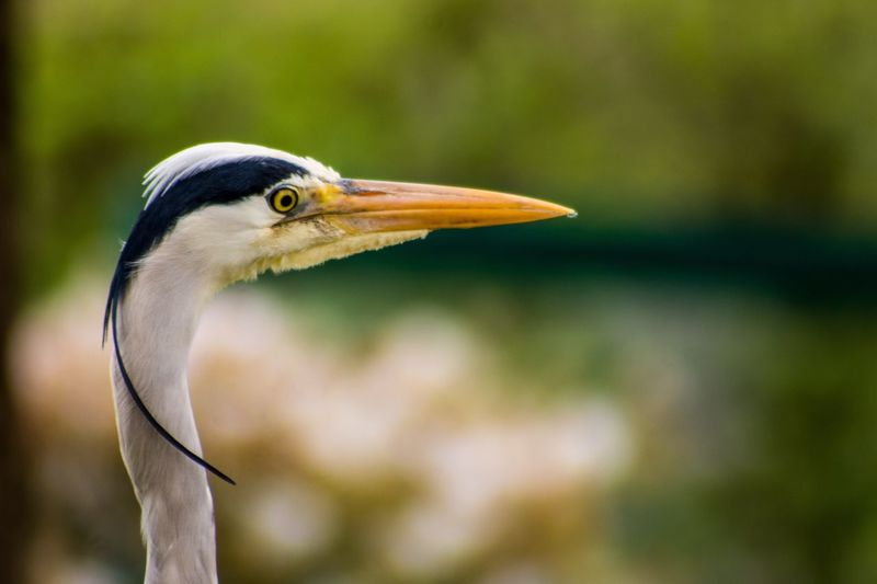 One Animal Bird Animals In The Wild Animal Themes Focus On Foreground Great Blue Heron Beak Heron Animal Wildlife Close-up Day Gray Heron No People Nature Outdoors Beauty In Nature Photography Nikon D7200 Bokeh Tokina 80400