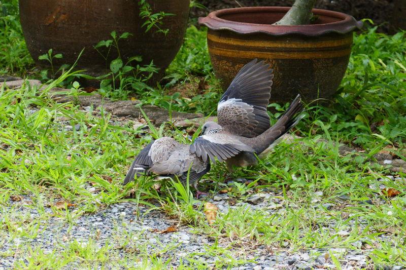 Bird Animals In The Wild Animal Themes Vertebrate Animal Wildlife Animal No People Outdoors Two Animals Pigeons Day Birds Of EyeEm  Mating Pigeons Birds In Thailand Pigeons In Thailand