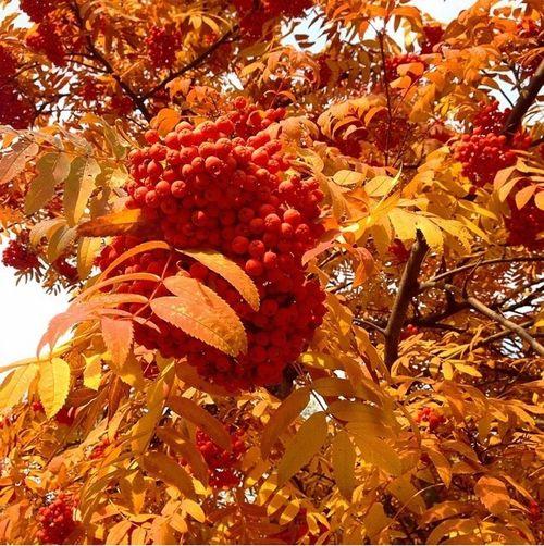 Autumn Goldenleaves