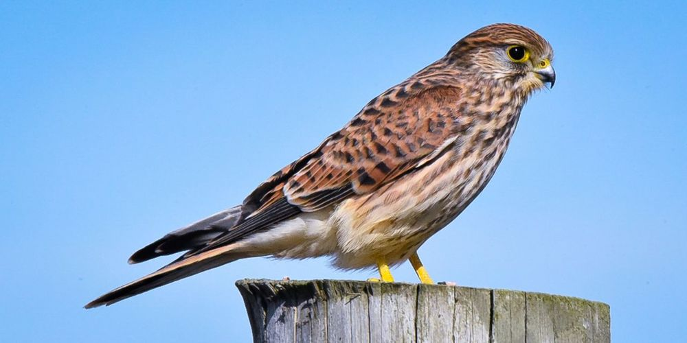 Kestrel EyeEm Selects Bird Bird Of Prey Perching Full Length Portrait Blue Close-up Sky Feather  Beak