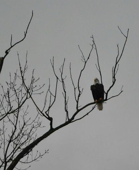 Eagle wildlife nature Animal Themes Outdoors Day No People One Animal Animal Wildlife