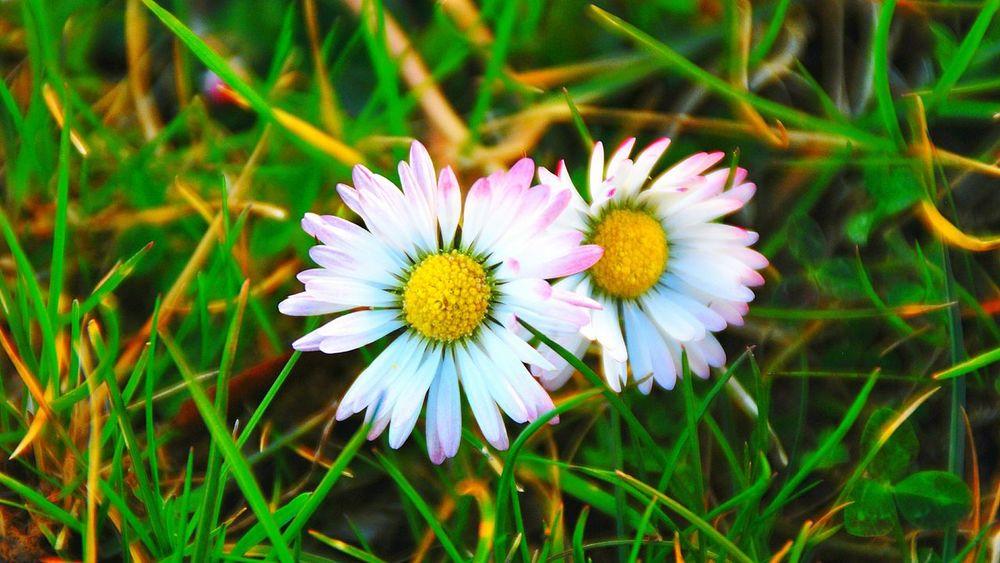 Urban Spring Fever Gänseblümchen Bellis Perennis, Daisy Daisy Flower Blume Flowers Blumenwiese Meadow White Flower Frühlingsblümchen Frühlingsbote Frühling Frühlingserwachen Spring Flowers Spring 2016 Spring Spring Colours Springtime Frühling 2016 The OO Mission