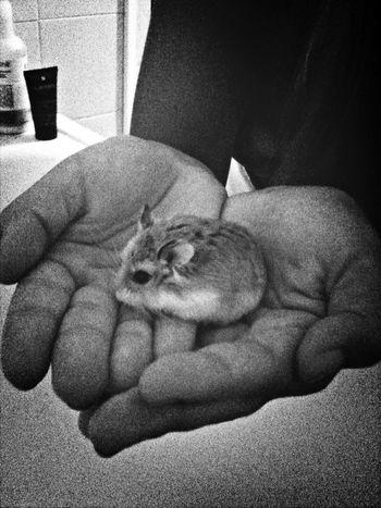 Le bebe le jour de son arrivée dans ma vie hihi My Hamster Cute♡ España