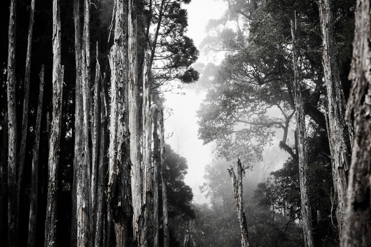 tree memories series Beauty In Nature Blackandwhite Day Forest Forest Photography Growth Ight And Shadow Landscape Low Angle View Misty Misty Morning Misty Mornings Mountain Nature No People Outdoors Scenics Sky Tranquil Scene Tranquility Tree Tree Trunk
