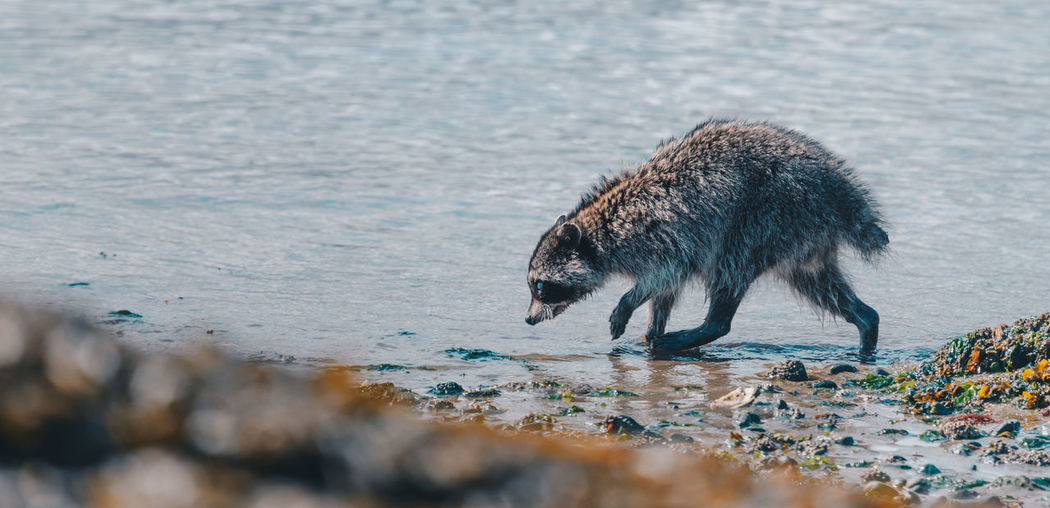 Close-Up Of Raccoon Walking At Lake
