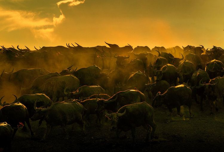 Water Buffaloes At Farm Against Orange Sky