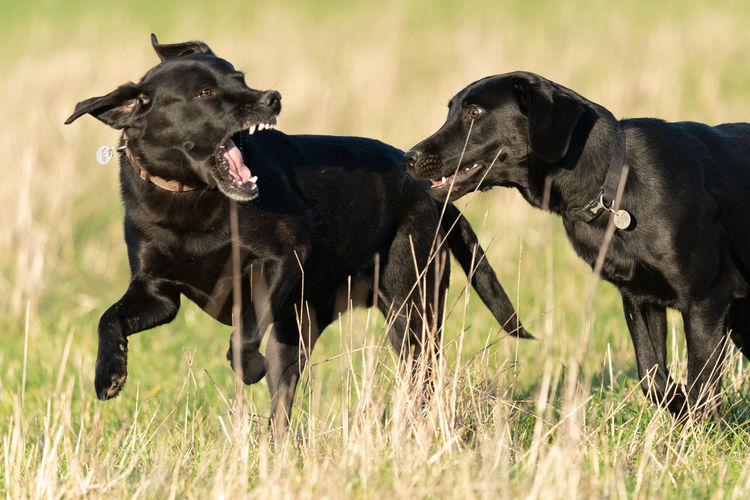 Close up of two black labradors playing together in a field