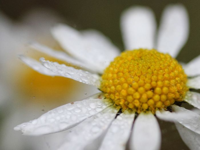 Beauty In Nature Blooming Blossom Botany Close-up Daisy Day Flower Flower Head Focus On Foreground Freshness Growth In Bloom Macro Nature No People Outdoors Pollen Rain Raindrops Selective Focus White Color Yellow