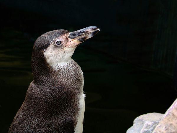 Penguin at Sababurg