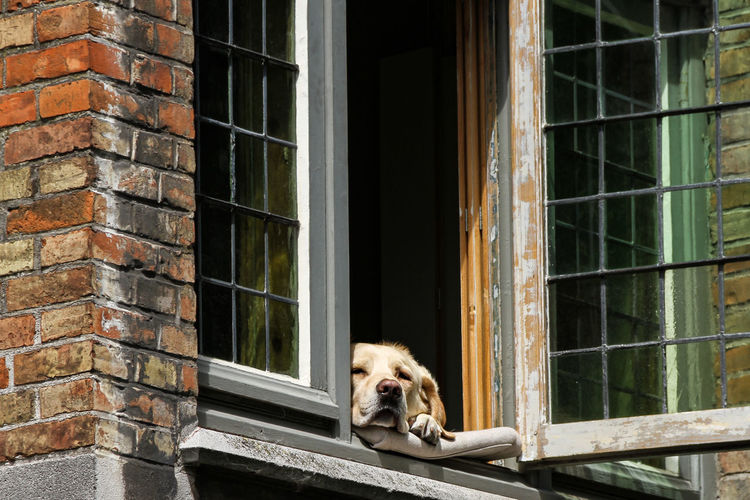 Portrait of dog relaxing on window in brugge