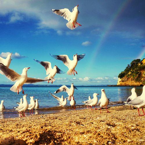 New Zealand Impressions New Zealand Beach Rainbows Sky Clouds Rainbows Group Of Animals Bird Animal Themes Animal Wildlife Animal Animals In The Wild Vertebrate Water Seagull Flock Of Birds Flying Beach