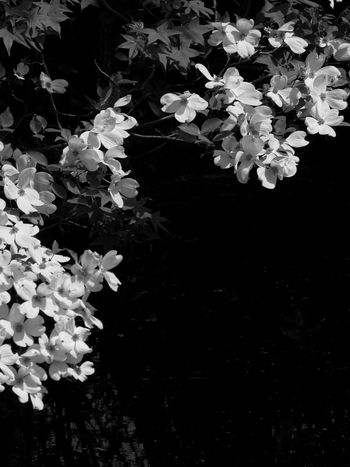 Background Beauty In Nature Black & White Black And White Nature Blossom Day Dogwood Blossom Dogwood Tree Floating On Water Flower Flower Head Fragility Freshness Growth Nature No People Outdoors Tranquil Scene Tranquility Water
