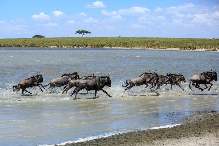 Wildebeests running in lake against sky