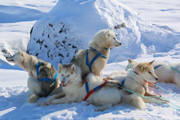 Huskies On Snow Field During Winter
