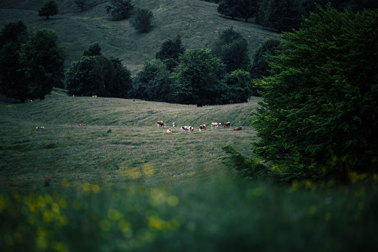 Agriculture Animal Themes Beauty In Nature Cattle Cow Day Domestic Animals Farm Animal Field Flock Of Sheep Grazing Green Color Growth Landscape Large Group Of Animals Livestock Mammal Mountain Nature Outdoors Real People Rural Scene Sheep Togetherness Tree