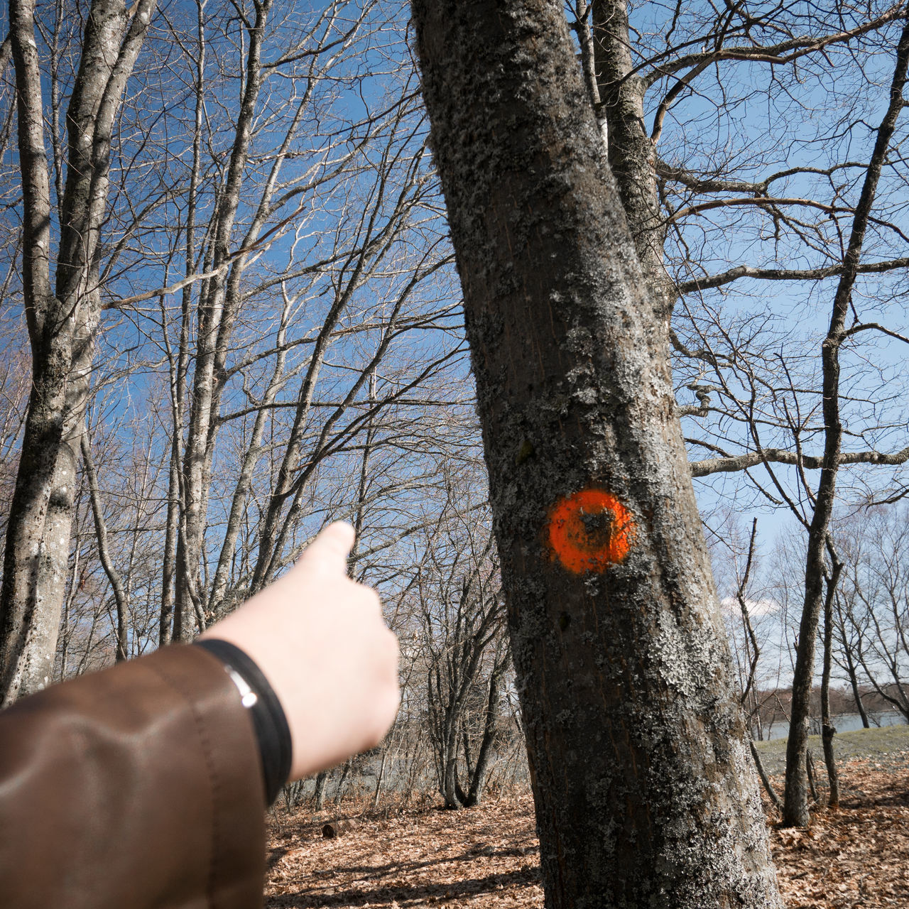 Cropped Hand Pointing At Orange Paint On Bare Tree Trunk In Forest