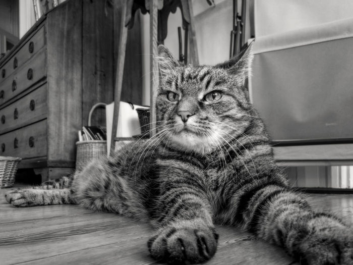 domestic cat impersonating a sfinx Animal Animal Themes Black And White Blackandwhite Cat Domestic Domestic Animals Domestic Cat Feline Indoors  Looking Mammal No People One Animal Pets Portrait Relaxation Sfinx Tabby Vertebrate Whisker