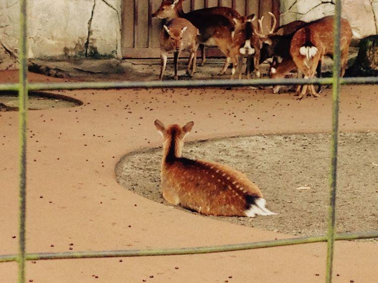 Tokyo Tokyo,Japan Kichijoji Inokashira Park Zoo Zoo Animals  ZOO-PHOTO Zoo! Animals Animal Animal_collection Animal Photography Domestic Animals Deer Deers Urban Nature Alone